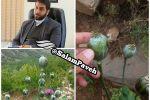 کشف و انهدام یک مزرعه کشت خشخاش در شهرستان پاوه / عکس