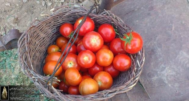 گوجه محلی / آسو ابراهیمی