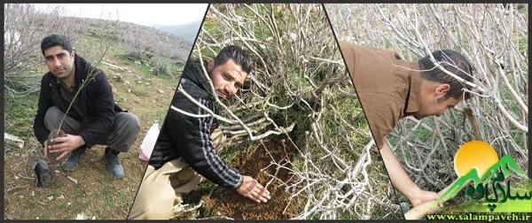 درختکاری بانه وره (1)