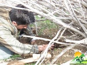 درختکاری بانه وره