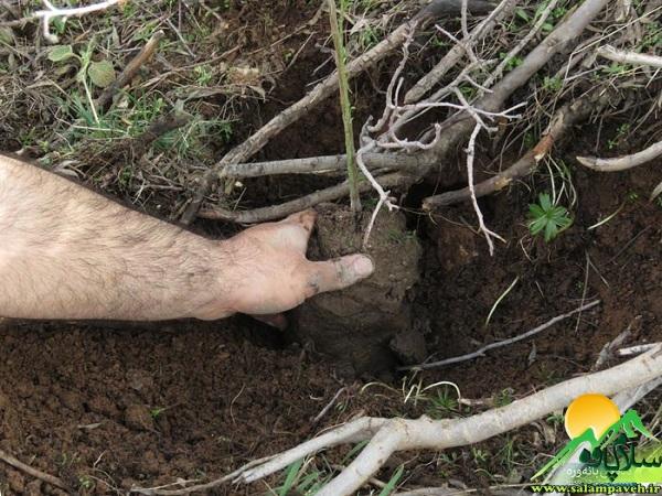 درختکاری بانه وره (4)