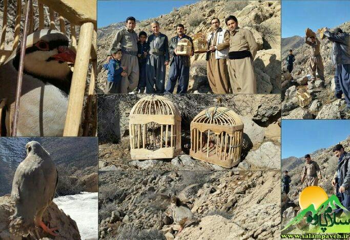 رها سازی کبک در دامنه شاهو