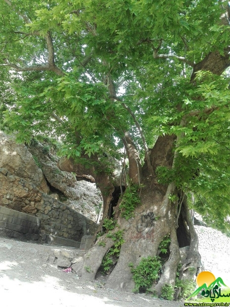 درخت شرکان (3)