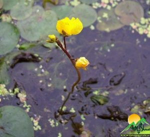 گلهای اورامان (2)