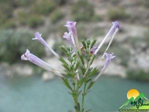 گلهای اورامان (4)