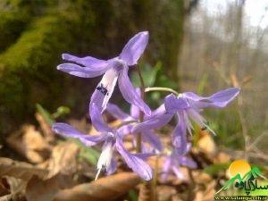 گلهای اورامان (5)