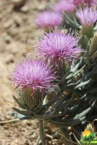 گیاهان شاهو (12)