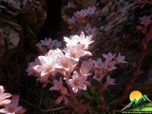 گیاهان شاهو (19)