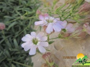 گیاهان شاهو (2)