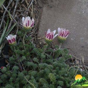 گیاهان شاهو (22)
