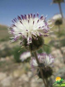 گیاهان شاهو (3)