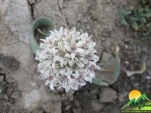 گیاهان شاهو (4)