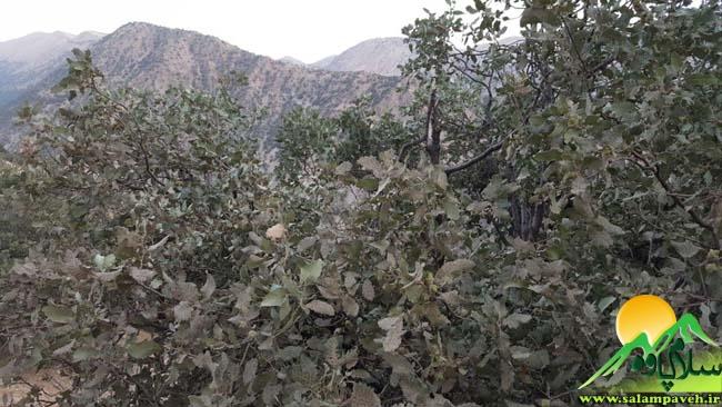 درختان بلوط