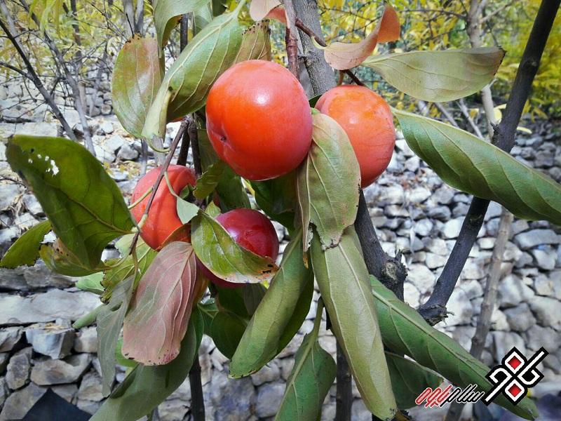 درخت خرمالو باغات باینگان ، عکس: پارسا محمدی