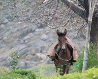 اقتصاد در کردستان با رنج گره خورده است/بازار داغ چهارپایان در معامله پرخطر کولبران